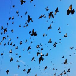 freetoedit blue sky birds