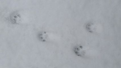 snow pawprint cat freetoedit
