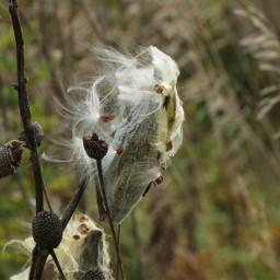 nature cotton naturephotography phoyography outside freetoedit