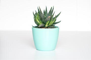 freetoedit plant cactus minimal